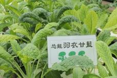 水耕法溫室 新收成︰羽衣甘藍